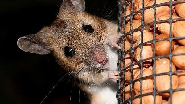 Биологи научились блокировать боль у мышей при помощи света