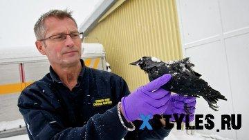 Обнаруженные в Швеции птицы были убиты