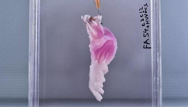 Ученые вырастили первую искусственную ногу крысы